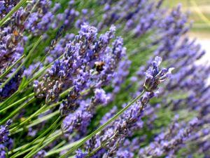 Provencal Lavender