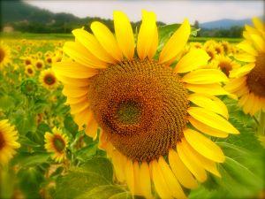 Provencal sunflower